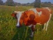 Продається молода корова,  добра,  спокійна!!!